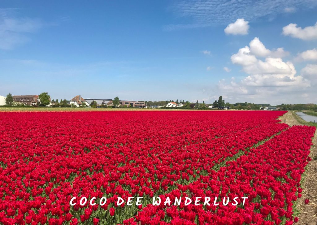 The Netherlands flower fields