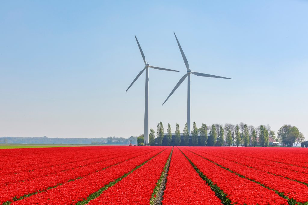 red flower field near wind turbines Unique places to visit in the Netherlands