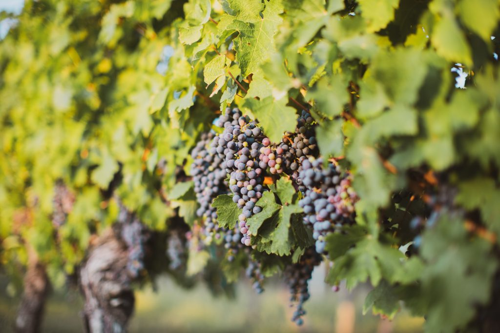 Bergerac vineyard France